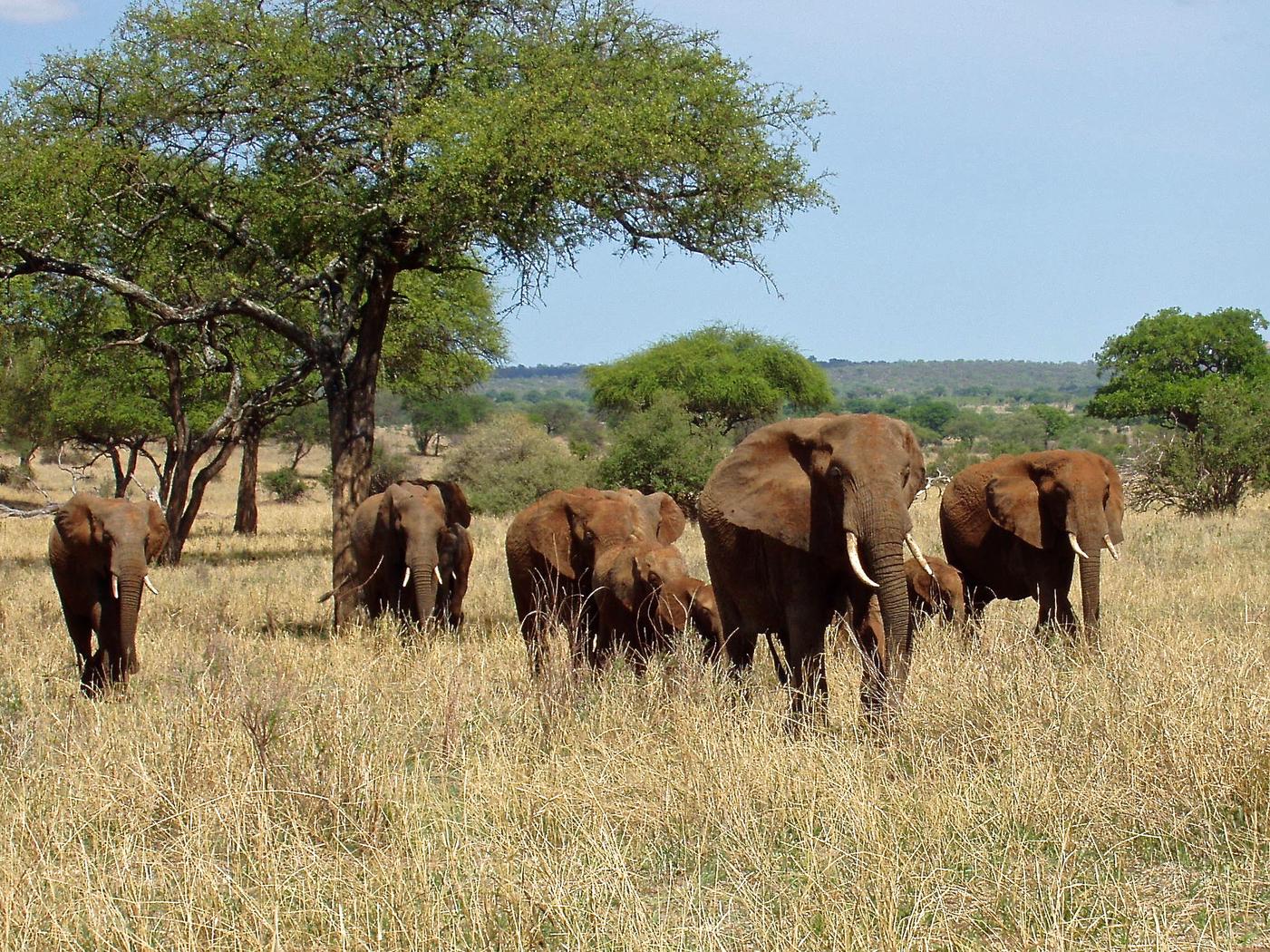 Africa, Tanzania, safari