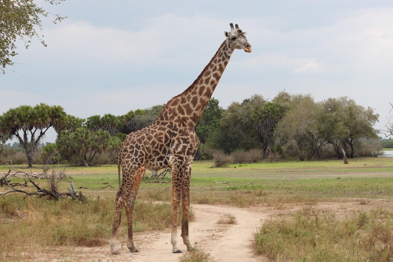 Africa, Tanzania, P.N.Serengeti, safari
