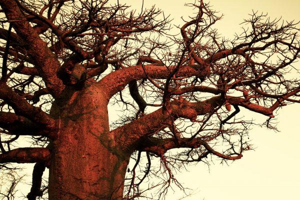 Africa_Botswana_Baobab