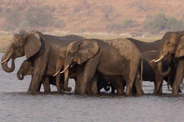 Africa.Botswana.Chobe.Animales.Elefantes.SD
