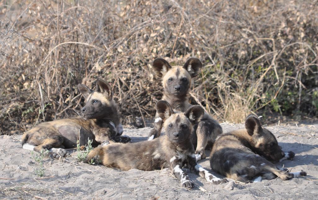 Africa, Botswana, Delta del Okavango, safari, licaones