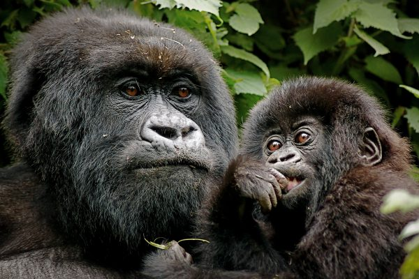 África,Uganda,animales,gorilas,iS
