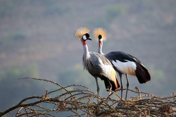 África,Uganda,animales,grulla Coronada,iS